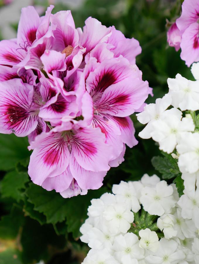 Gartenblumen im Sommer