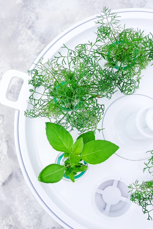 Werbung. Dill und Zitronen-Basilikum aus dem neuen Bosch SmartGrow Indoor-Kräutergarten