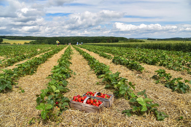 Ein Selbstpflückerfeld in der Erdbeerzeit