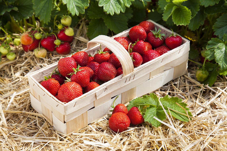 Erdbeerkorb im Feld während der Erdbeerzeit