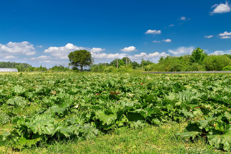 Feld voller Rhabarberpflanzen