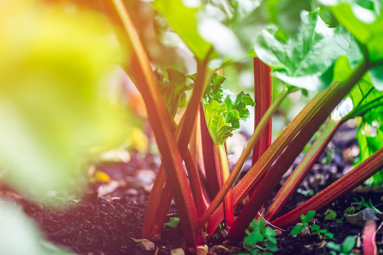 Rhabarberpflanze wächst im Feld