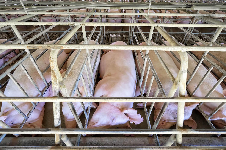 Schweine liegen in ihren beengten Kastenständen