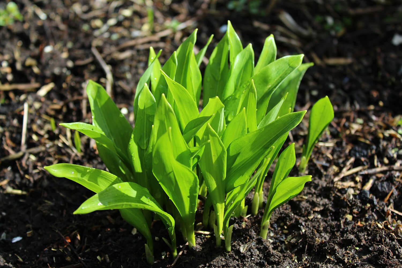 Einzelne Bärlauch-Pflanzen im Wald