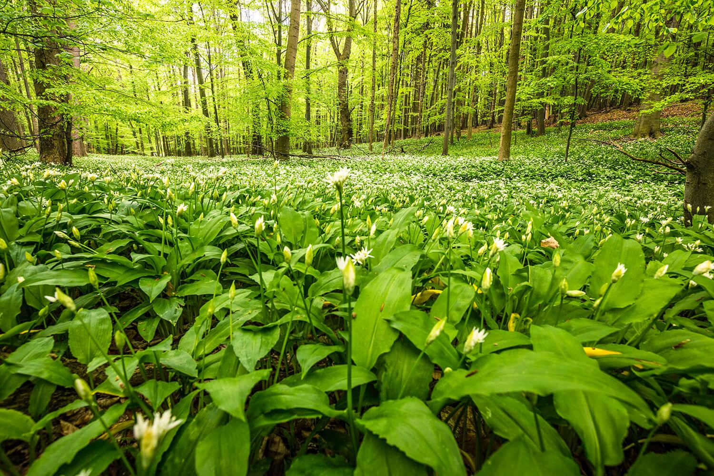 Bärlauchwiese in schattigem Waldstück