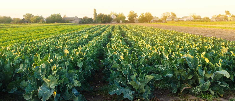 Brokkoli-Feld bei Sonnenaufgang