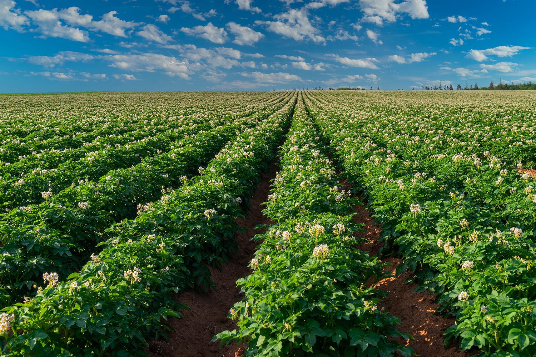 Ein Feld voll blühender Kartoffelpflanzen