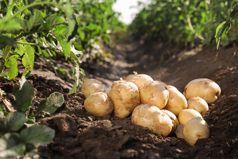 Geerntete Kartoffeln im Feld