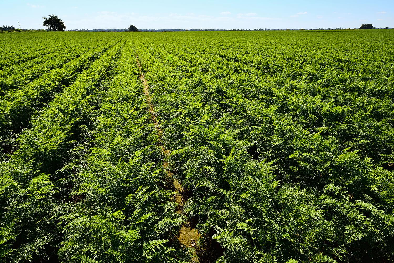 Ein grünes Feld voller Karottenpflanzen