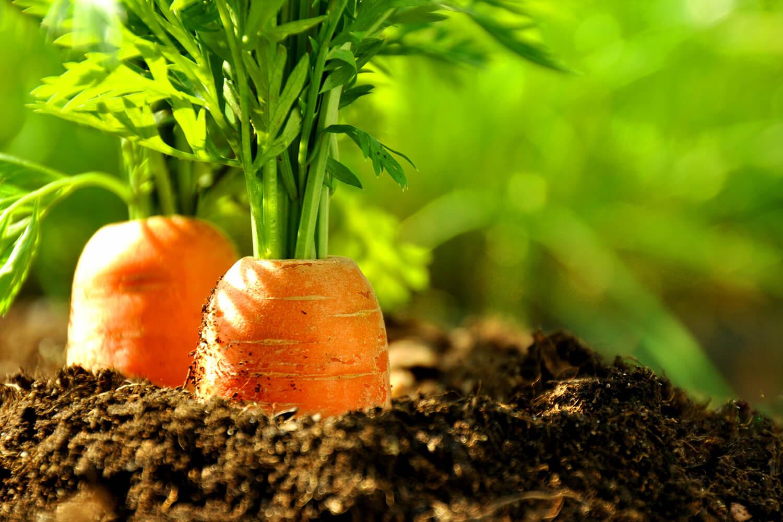 Erntereife Karotten in der Erde