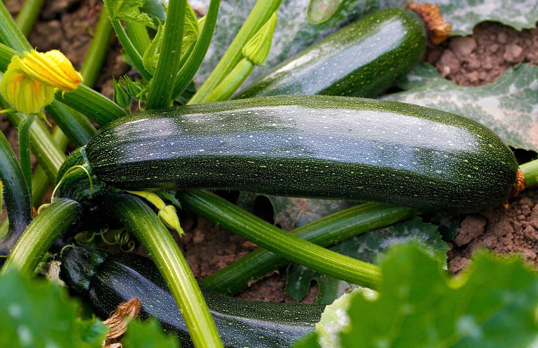 Reife Zucchini an der Pflanze