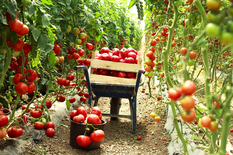 Eine Schubkarre voller reifer Früchte bei der Tomaten Ernte