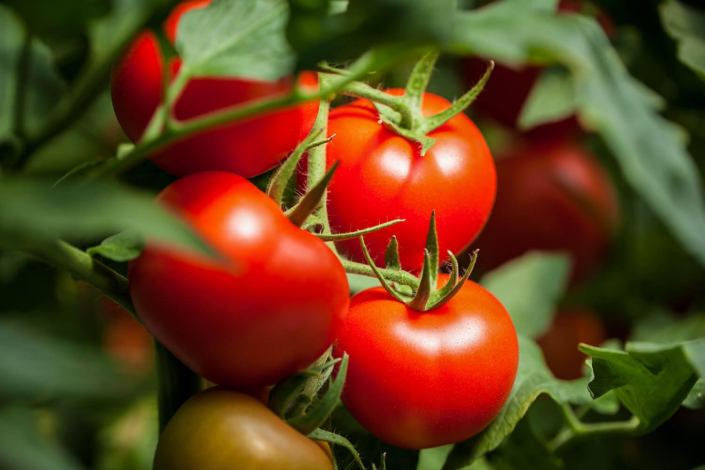 Tomatenrispen mit reifen Früchten