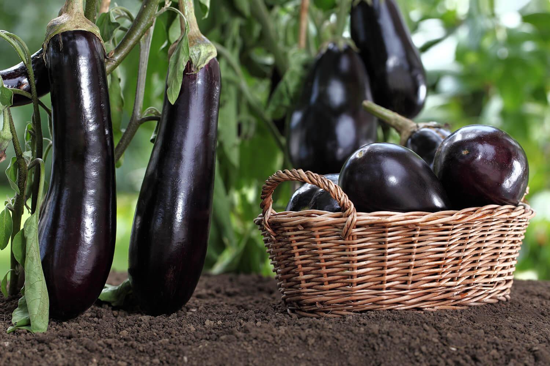 Voller Bastkorb bei der Auberginen-Ernte