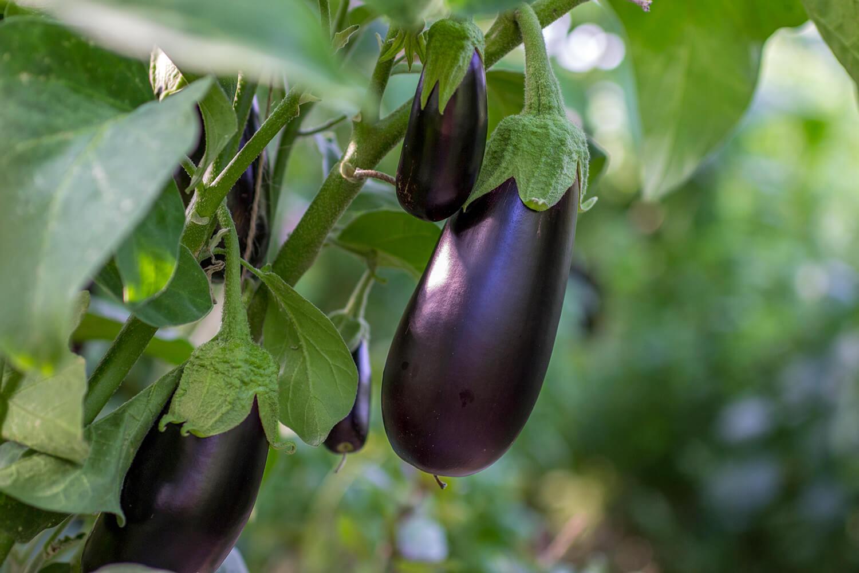 Erntereife Früchte an einer Auberginenpflanze