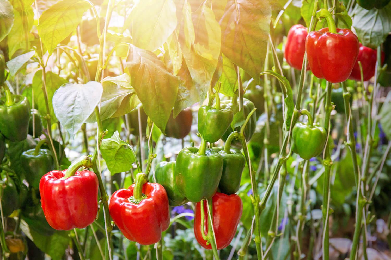 Paprikapflanzen in der Abendsonne