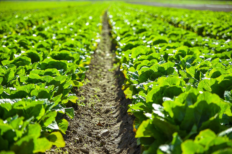 Feld mit Reihen voller Ackersalat