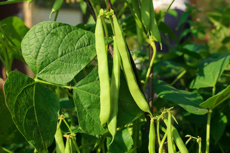 Reife Bohnen an der Pflanze