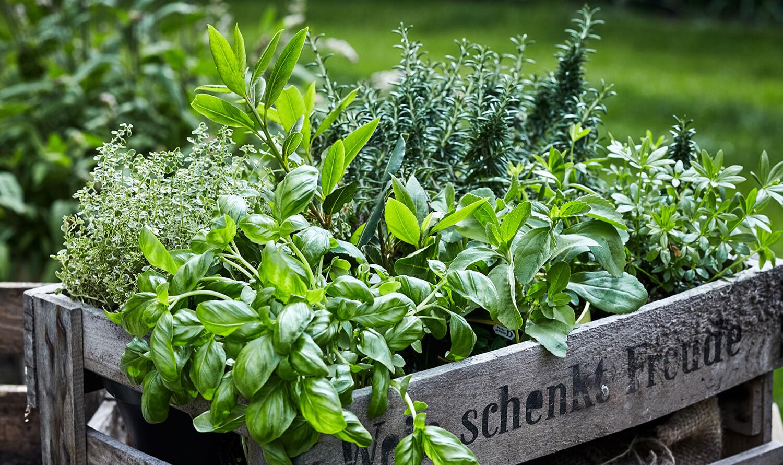 Unterschiedliche Kräuterpflanzen in Holzbox