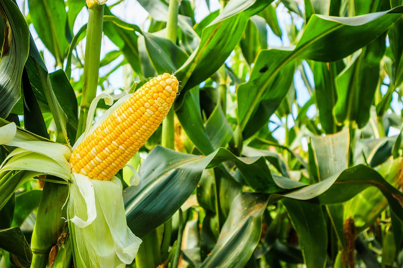 Maispflanze mit reifem Maiskolben